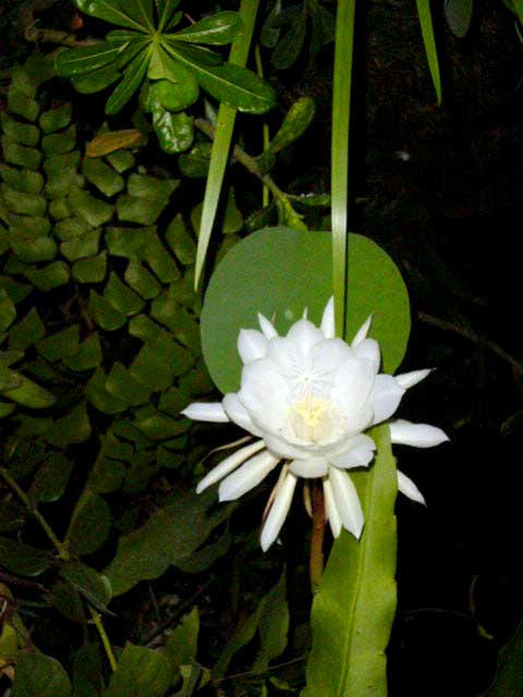 Indonesian Flowers Discover Bali Indonesia Photo Gallery